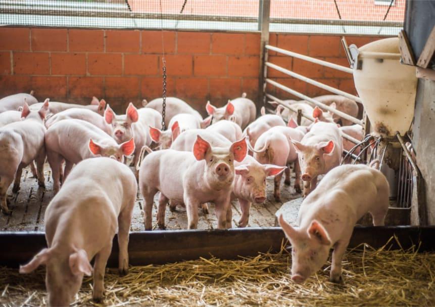 Schweine im offenen Stall