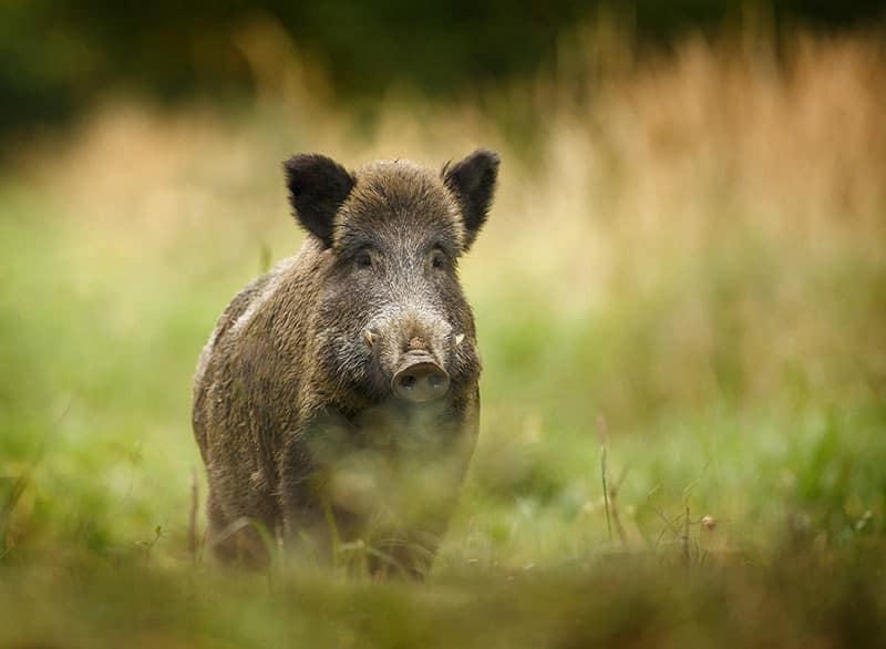 Eine echte Spezialität ist das Fleisch und die Wurst vom Wildschwein
